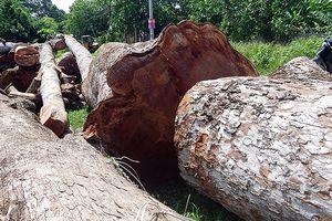 Chặt 13 cây cổ thụ trên 100 năm tuổi để mở rộng đường
