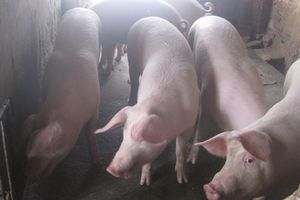 Giá lợn tăng 'sốc' vì… thiếu chất tạo nạc?