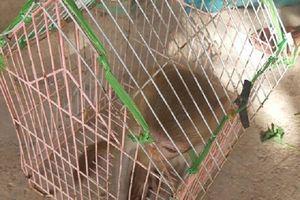 Quảng Bình: Người dân tự nguyện giao nộp khỉ vàng quý hiếm