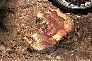 Bắt ổ nhóm chuyên chặt trộm gỗ sưa