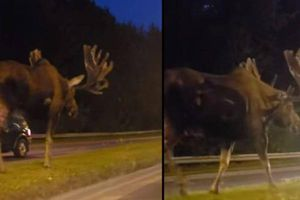 Chiêm ngưỡng nai sừng tấm khổng lồ đi giữa đường cao tốc