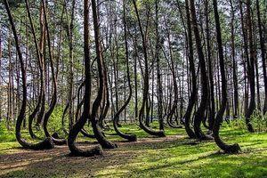 Khám phá bí ẩn về khu rừng có hàng trăm gốc cây bị uốn cong một cách khó hiểu