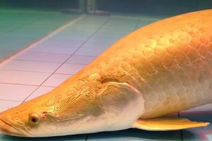 Cá Hải Tượng Long, thú chơi cá cảnh 'hút tài lộc'?