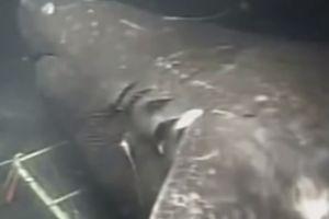 Tranh cãi nảy lửa về cá mập 'quái vật', nặng gấp 5 xe buýt