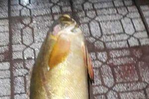 Cá đường quý hiếm xuất hiện tại Cà Mau, nặng hơn 30kg
