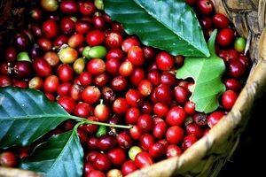 Giá cà phê hôm nay 12/8: Có tín hiệu khởi sắc, tăng 100 đồng/kg