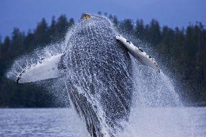 Ngoạn mục cá voi 40 tấn, to hơn tòa nhà nhảy 'khiêu vũ'