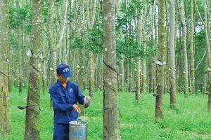 Lợi nhuận gộp của Cao su Đồng Phú (DPR) vượt kế hoạch sau 7 tháng bất chấp giá cao su giảm mạnh