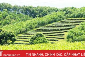 Mô hình nông - lâm kết hợp ở Hà Tĩnh: 'Quýt ngọt lấp lá'?!