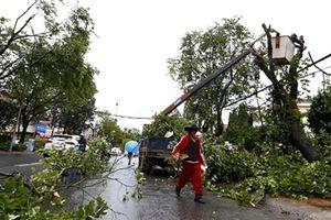 Bão chưa đến, hàng loạt cây cổ thụ ở TP Đà Lạt đã ồ ạt gãy đổ