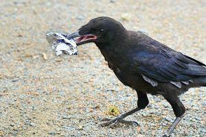 Quạ đen thông minh nhặt rác chuyên nghiệp trong công viên