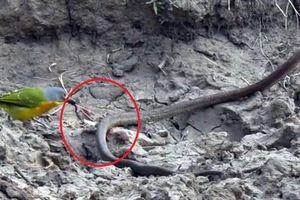 'Hãi hùng' với cảnh chú chim 'moi ruột' con rắn vẫn đang sống