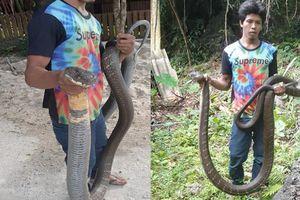 Bắt rắn hổ mang chúa siêu khủng, dân kính gọi bằng 'ông'