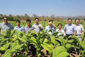 Lò sấy thuốc lá công nghệ mới - Niềm mong đợi của người dân vùng trồng nguyên liệu