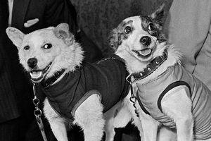 Bạn biết gì về những chú chó đầu tiên chinh phục không gian?