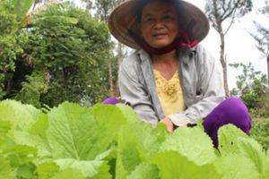 Nông dân xứ Quảng trồng rau sạch trên nền cát trắng