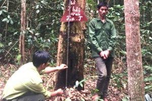 Kon Tum: Bắt 3 đối tượng cắt trộm gỗ trắc trong rừng đặc dụng