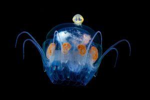 Vẻ đẹp xuyên thấu đầy ma quái của các sinh vật biển trong đêm