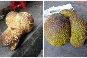 Những trái mít kỳ lạ khiến nông dân Việt phát cuồng