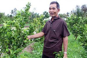 Hậu Giang: Cải tạo vườn tạp trồng cây có múi