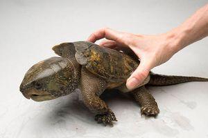 Loài rùa đầu to biết trèo cây, lạ nhất TG trong sách đỏ VN