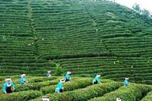 Trung Quốc: Văn hóa trà giúp phát triển du lịch ở nông thôn Quý Châu
