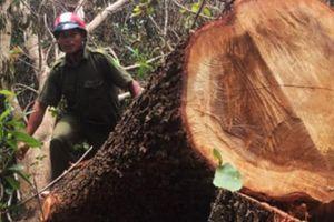 Xin tận thu gỗ gãy đổ để khai thác rừng phòng hộ?