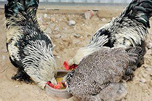 Đại gia Việt chi mạnh mua gà kỳ lân nghìn đô đãi tiệc