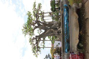 Cây Đề thu hút nhiều đại gia quan tâm tại Triển lãm Hà Nam