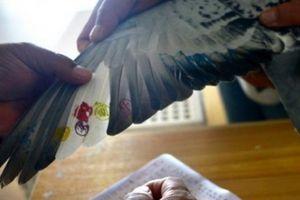 Chim bồ câu không bay vẫn về nhất trong cuộc... thi bay 750km