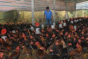 Nuôi 18.000 gà Cao Khanh, sau 4 tháng, lãi ít nhất 30.000 đồng/con