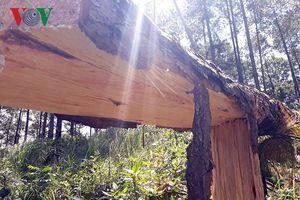 Chặt hạ rừng thông trái phép ở Lâm Đồng là một nhóm xã hội đen