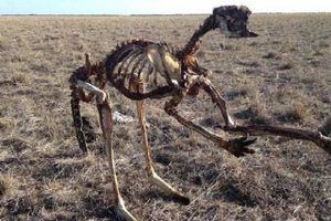 Thực tế tàn khốc phía sau bức ảnh kangaroo chết trơ xương