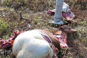 Đắk Lắk: Liên tiếp xảy ra các vụ trộm bò, xẻ thịt, gây hoang mang
