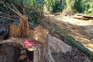 Lại phát hiện vụ phá rừng quy mô lớn ở Quảng Nam