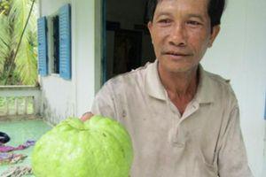 Làm giàu ở nông thôn: Thành tỷ phú từ giống ổi 'Nữ hoàng'