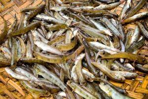 Kỹ nghệ săn đặc sản cá tiến Vua 'nhỏ nhưng độc' ở đầm Chuồn