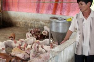 Dịch tả châu Phi lây lan chóng mặt, đe dọa đàn lợn trong nước