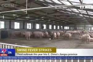Bệnh tả lợn không có khả năng lây truyền sang người