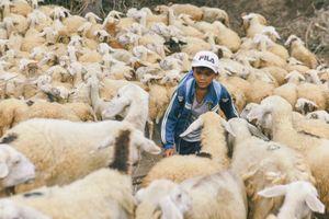 Cậu bé ở xứ sở chăn cừu nắng gió độc nhất miền Trung