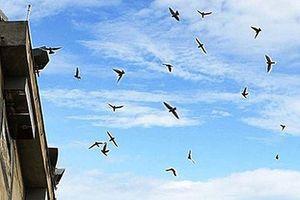 Hệ lụy chim yến