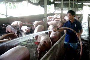 TPHCM tăng cường kiểm soát nguy cơ dịch tả lợn