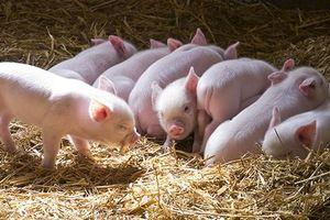 Những bệnh khủng khiếp từ lợn có thể lây sang người