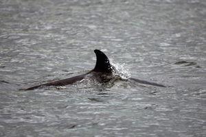 Tàu ngầm bị nghi là thủ phạm làm chết cá voi