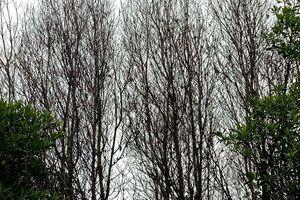 Bến Tre: Đề xuất nghiên cứu khoa học tìm nguyên nhân rừng chết