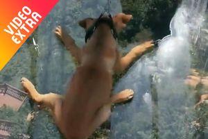 Chú chó 'điếng người' khi qua cầu kính trong suốt ở Trung Quốc