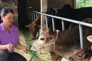 Làm giàu ở nông thôn: Nuôi đàn bò cóc, mỗi tháng có 10 triệu đồng