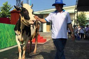 Thỏa sức ngắm các 'quý bà' bò tại cuộc thi 'hoa hậu bò sữa' TP.HCM