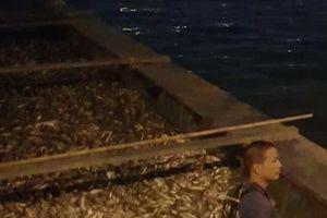 Cá lại chết hàng loạt, nổi trắng hồ Tây