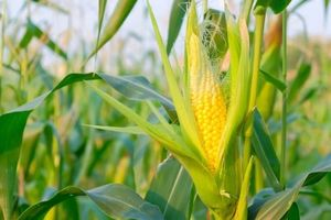Mỹ chiếm 60% tổng sản lượng ethanol trên toàn thế giới